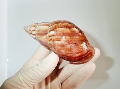 アフリカマイマイAchatina fulica1.加藤英明Hideakikato.静岡大学.jpg