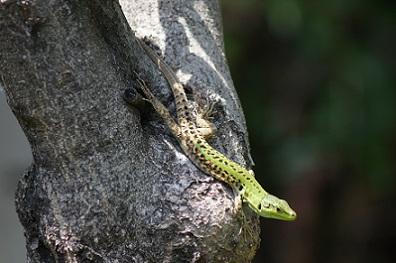 イタリアカベカナヘビPodarcis siculus. Herpetolofauna. 加藤英明HideakiKato.jpg