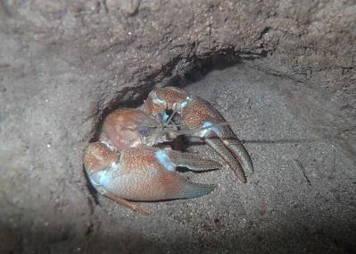 ウチダザリガニ.Pacifastacus leniusculus trowbridgii.2.加藤英明.静岡大学.jpg