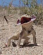オオクチガマトカゲPhrynocephalus mystaceus.加藤英明Hideaki Kato.jpg