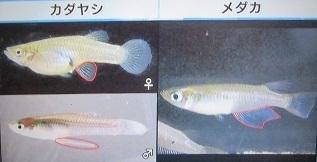カダヤシG. affinis. メダカとの違い比較.jpg