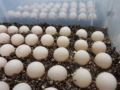 カミツガメの卵.Eggs of Chelydra serpentina.2017.繁殖現状.加藤英明.静岡大学.jpg