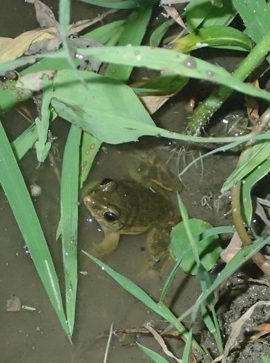 サドガエルGlandirana susurra.Endangered species.Japan.加藤英明.jpg