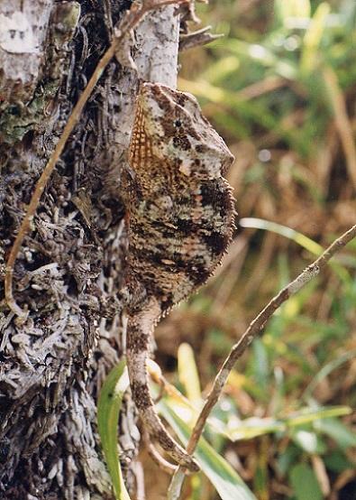 ショートホーンカメレオンCalumma brevicornis.加藤英明HideakiKato.jpg