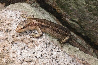 ジャイアントマブヤトカゲTrachylepis wrightii. 加藤英明HideakiKato.jpg