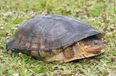 セーシェルキバラハコヨコクビガメPelusios castanoides intergularis. 加藤英明HideakiKato.jpg