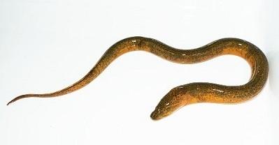 タウナギMonopterus albus.加藤英明HideakiKato.静岡大学.jpg