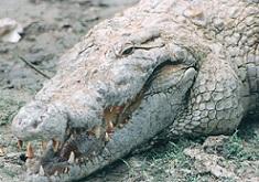 ナイルワニCrocodylus niloticus.加藤英明HideakiKato.jpg