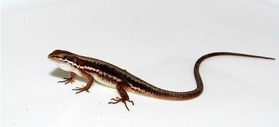 ニホンカナヘビ.Takydromus tachydromoides.飼い方.加藤英明.HideakiKato.静岡大学.jpg