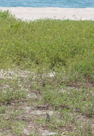 バタフライアガマLeiolepis belliana. HideakiKato.jpg