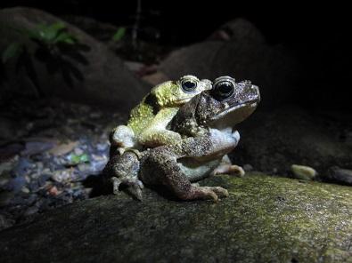 パラワンヒキガエルIngerophrynus philippinicus. 加藤英明HideakiKato.jpg
