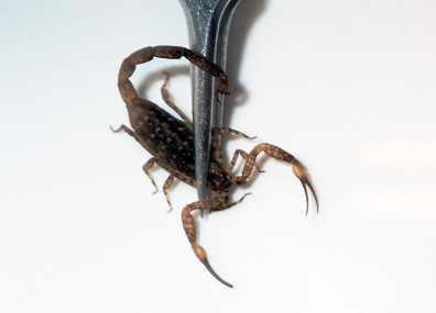 マダラサソリ.Isometrus maculatus.2.加藤英明.jpg