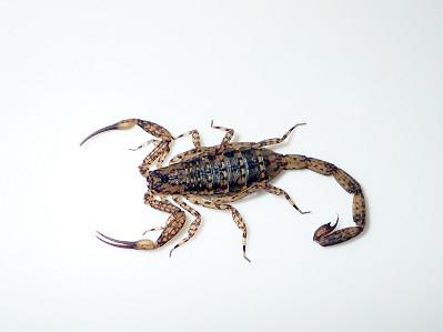 マダラサソリ.Isometrus maculatus .加藤英明.jpg