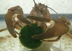 マリモを食べるウチダザリガニPacifastacus leniusculus trowbridgii.加藤英明.jpg