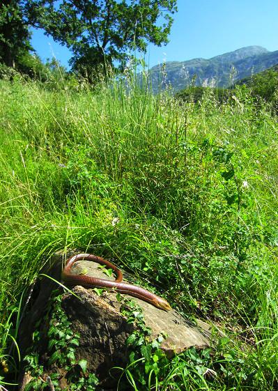 ヨーロッパアシナシトカゲPseudopus apodus thracius. 加藤英明HideakiKato.jpg