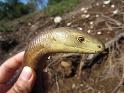 ヨーロッパアシナシトカゲPseudopus apodus thracius2. 加藤英明HideakiKato.jpg