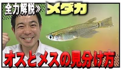 加藤英明.HideakiKato.ユーチューブ.メダカ.オスとメスの見分け方.1.jpg