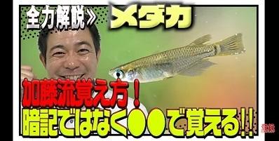 加藤英明.HideakiKato.ユーチューブ.メダカ.オスとメスの見分け方.10.jpg