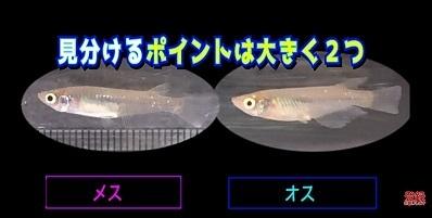 加藤英明.HideakiKato.ユーチューブ.メダカ.オスとメスの見分け方.3.jpg