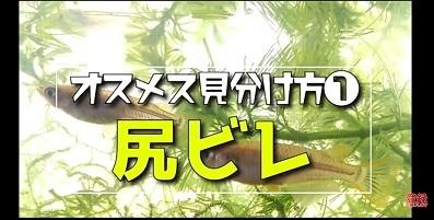 加藤英明.HideakiKato.ユーチューブ.メダカ.オスとメスの見分け方.4.jpg