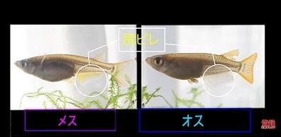 加藤英明.HideakiKato.ユーチューブ.メダカ.オスとメスの見分け方.5.jpg
