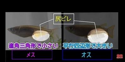 加藤英明.HideakiKato.ユーチューブ.メダカ.オスとメスの見分け方.6.jpg