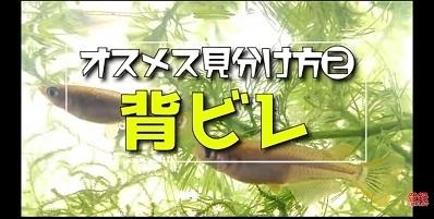 加藤英明.HideakiKato.ユーチューブ.メダカ.オスとメスの見分け方.7.jpg