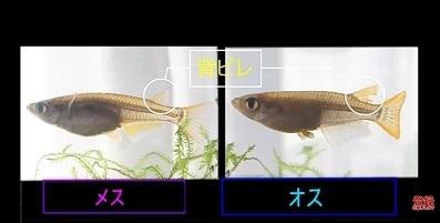 加藤英明.HideakiKato.ユーチューブ.メダカ.オスとメスの見分け方.8.jpg