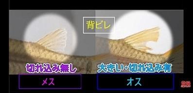 加藤英明.HideakiKato.ユーチューブ.メダカ.オスとメスの見分け方.9.jpg
