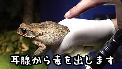加藤英明.HideakiKato.Youtube.オオヒキガエル5.jpg