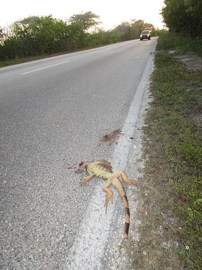 外来種グリーンイグアナiguana iguana. 轢死.jpg