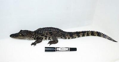奄美大島加計呂麻島の交雑ワニ.DNA.Crocodylus siamensis.加藤英明HideakiKato.静岡大学ShizuokaUniversity.jpg