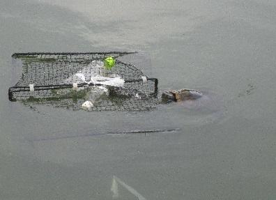 浜松市池の生きもの調査.アカミミガメ3.jpg