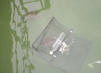 浜松市池の生きもの調査.アカミミガメ4静岡大学加藤英明.jpg