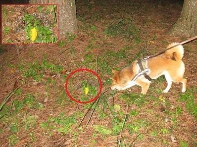 訓練犬とアムールハリネズミE. amurensis .加藤英明HideakiKato.静岡大学.jpg