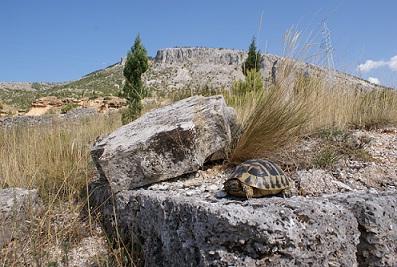 Testudo hermanni hercegovinensis. Bosnia.Hideakikato1.jpg